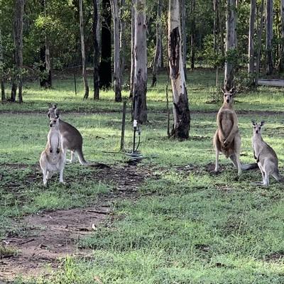 Kangaroos Baffle Hideaway